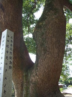 Kusunoki1